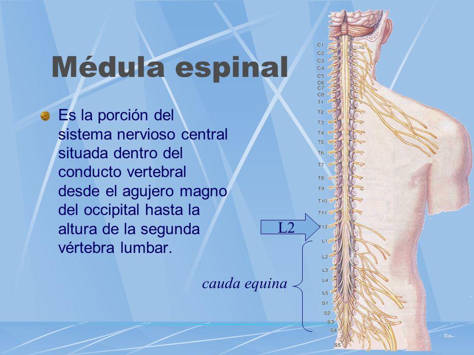 Médula espinal Es la porción del sistema nervioso central situada dentro del conducto vertebral desde el agujero magno del occipital hasta la altura d
