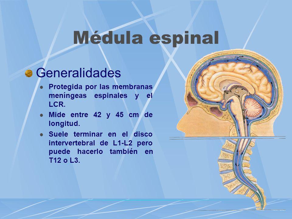 Médula espinal Generalidades Protegida por las membranas meníngeas espinales y el LCR. Mide entre 42 y 45 cm de longitud. Suele terminar en el disco i