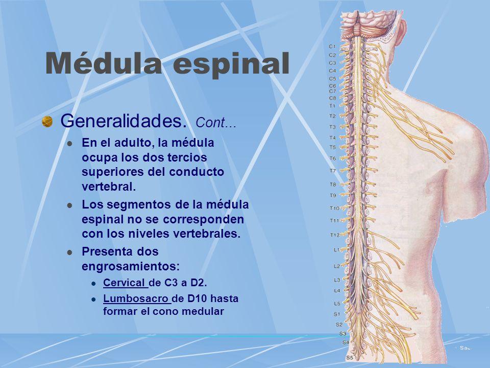Generalidades. Cont... En el adulto, la médula ocupa los dos tercios superiores del conducto vertebral. Los segmentos de la médula espinal no se corre