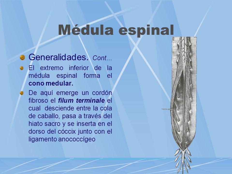 Generalidades. Cont... El extremo inferior de la médula espinal forma el cono medular. De aquí emerge un cordón fibroso el filum terminale el cual des
