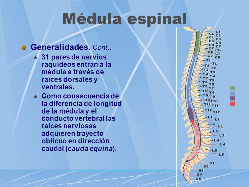 Generalidades. Cont.. 31 pares de nervios raquídeos entran a la médula a través de raíces dorsales y ventrales. Como consecuencia de la diferencia de