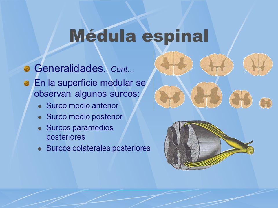Generalidades. Cont... En la superficie medular se observan algunos surcos: Surco medio anterior Surco medio posterior Surcos paramedios posteriores S