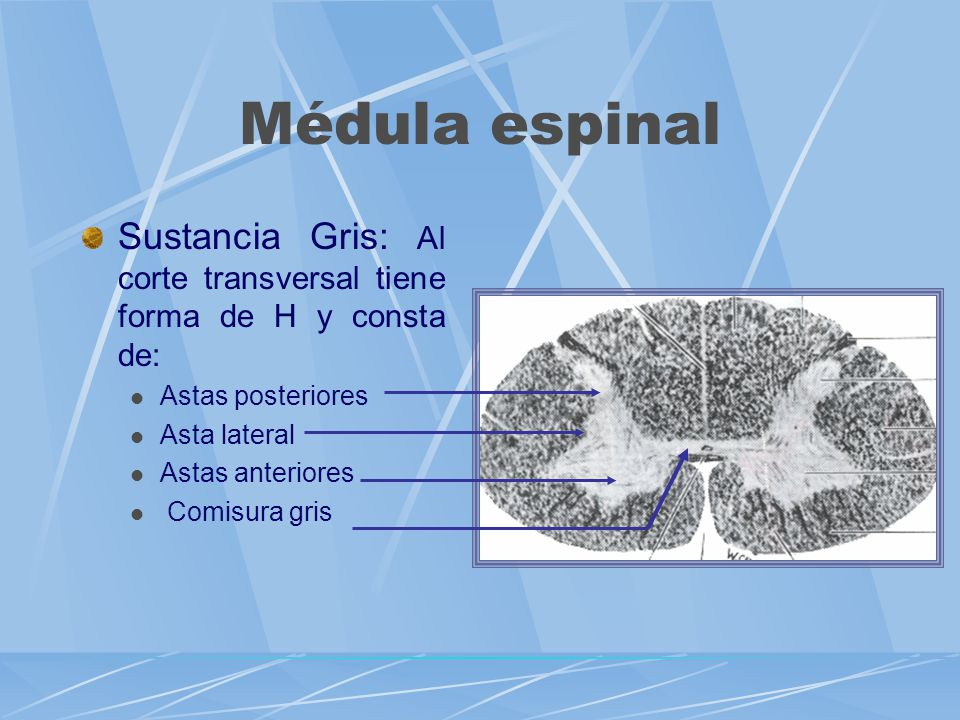 Sustancia Gris: Al corte transversal tiene forma de H y consta de: Astas posteriores Asta lateral Astas anteriores Comisura gris