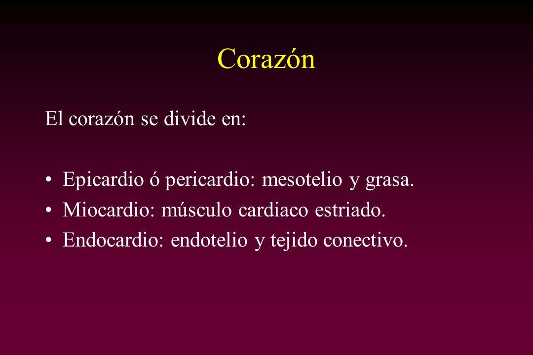 Corazón El corazón se divide en: Epicardio ó pericardio: mesotelio y grasa. Miocardio: músculo cardiaco estriado. Endocardio: endotelio y tejido conec