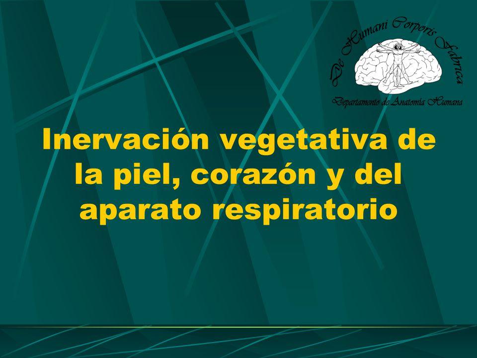 Inervación vegetativa de la piel La inervación proviene totalmente del simpático.