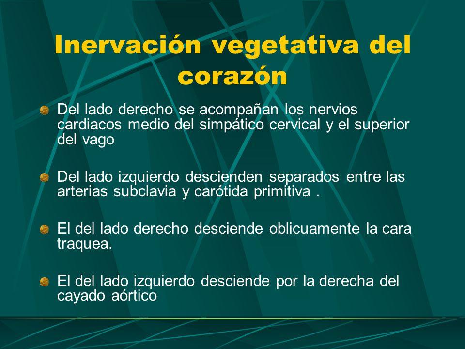 Inervación vegetativa del corazón En su trayecto hacia las porciones profundas del plexo cardiaco se le unen los nervios: Cardiacos torácicos del simpático (procedentes de 2 …4 ganglio torácicos) Cardiacos torácicos del vago