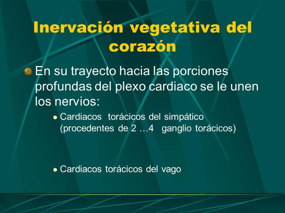 Inervación vegetativa del corazón Los del el lado izq.