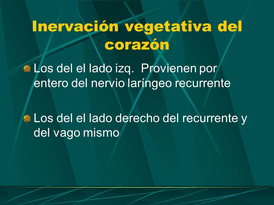 Inervación vegetativa del aparato respiratorio Simpático.