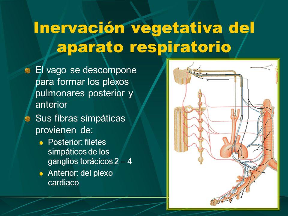 Conceptos clave Estimulación parasimpática: boncoconstricción Estimulación simpática: broncodilatación Inervación vegetativa del aparato respiratorio