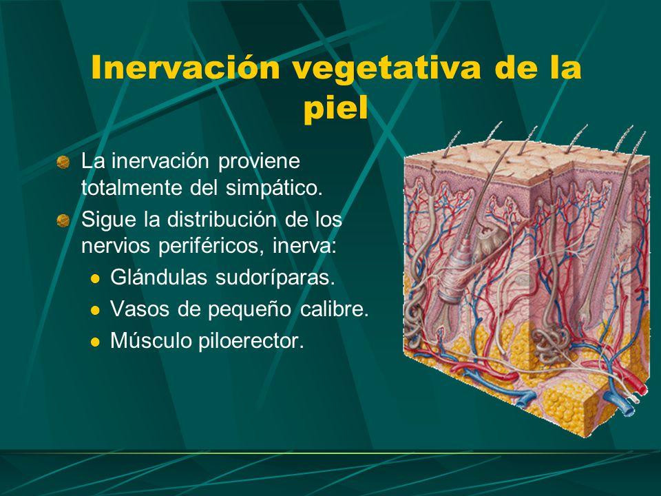 Inervación vegetativa del corazón Inervado por ambos sistemas: Simpático y Parasimpático las fibras simpáticas provienen de la columna intermediolateral de los cuatro primeros segmentos torácicos