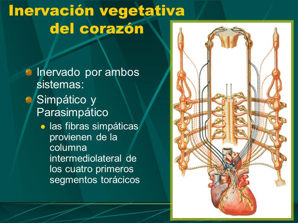 Las fibras parasimpáticas provienen del núcleo dorsal del vago. Inervación vegetativa del corazón