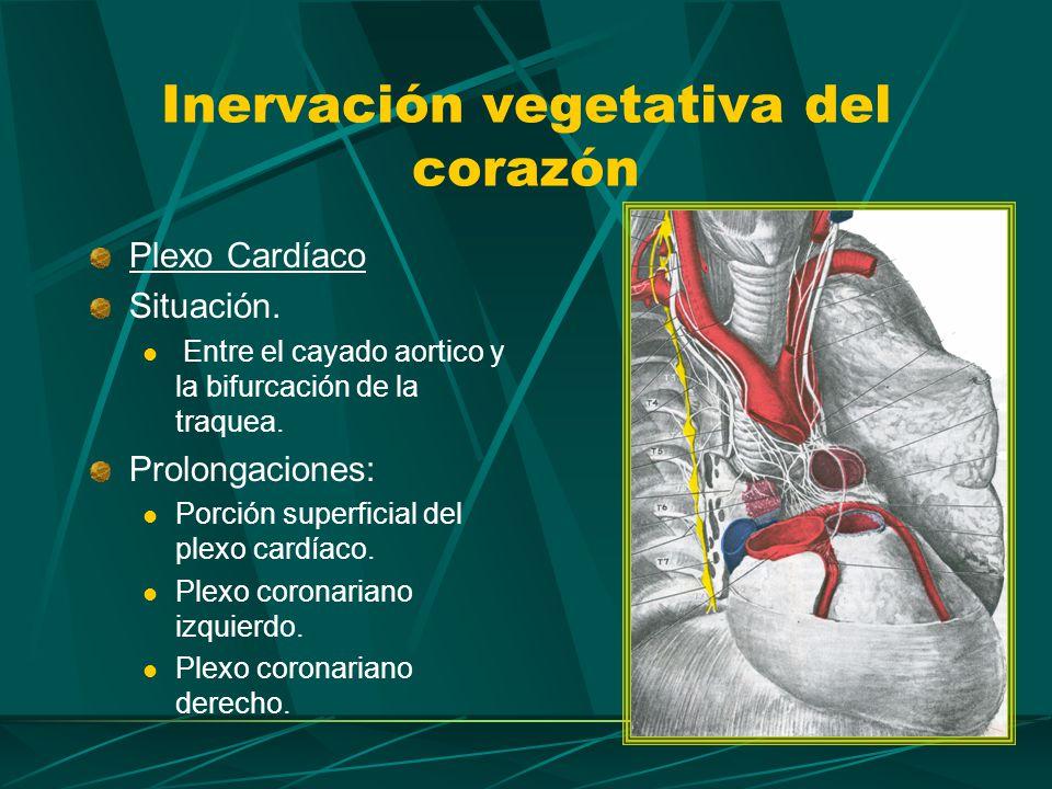 Las fibras vegetativas llegan al plexo cardíaco como nervios cardíacos.