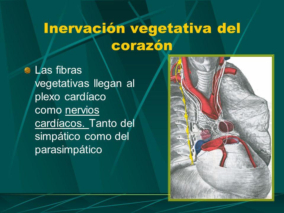 Nervios cardíacos del Vago Formados por fibras preganglionares.
