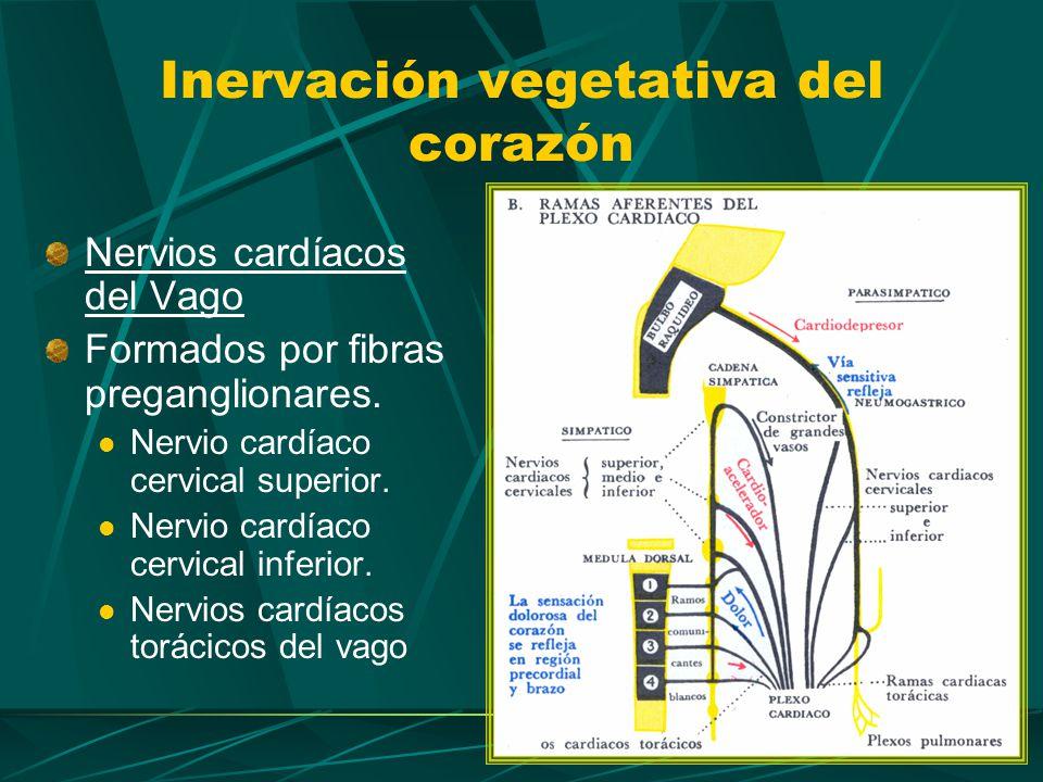 Nervios cardíacos de la cadena simpática Formados por fibras posganglionares.