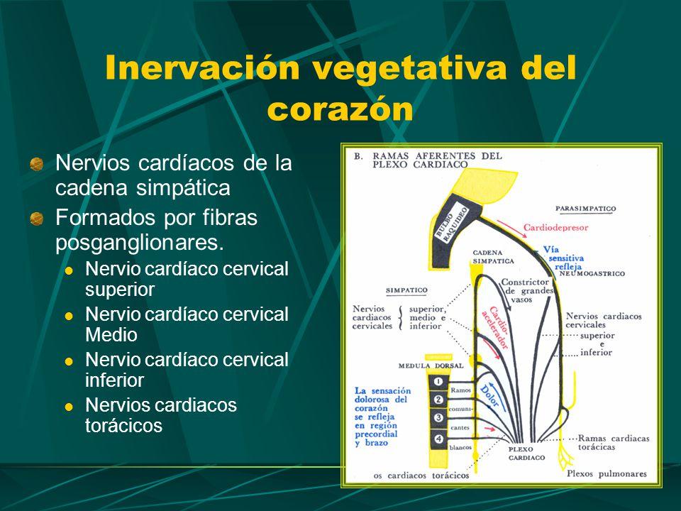 Conceptos clave Investigar función del simpático y parasimpático en: Coronarias Frecuencia cardíaca Presión arterial Inervación vegetativa del corazón
