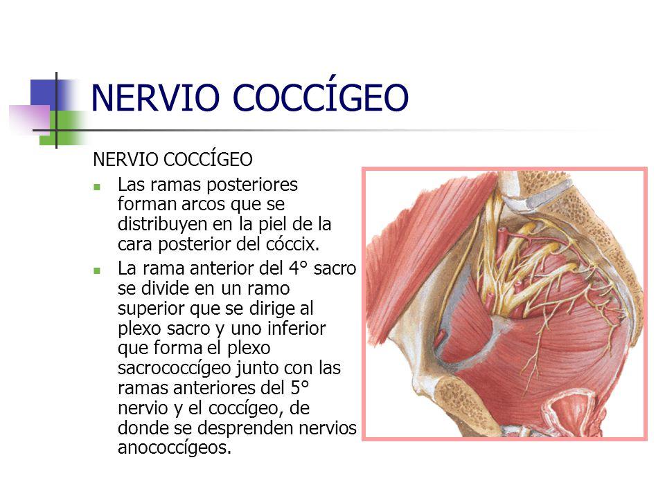 NERVIO COCCÍGEO Las ramas posteriores forman arcos que se distribuyen en la piel de la cara posterior del cóccix. La rama anterior del 4° sacro se div