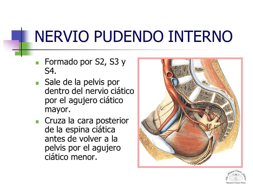 NERVIO PUDENDO INTERNO En la pared lateral de la fosa isquiorrectal emite el nervio anal o hemorroidal y después de haberse introducido en el conducto pudendo de la aponeurosis del obturador se bifurca en nervio dorsal del pene o del clítoris y nervio perineal.