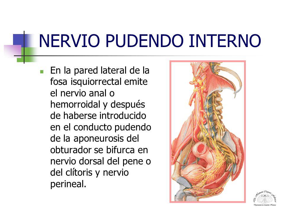 NERVIO PUDENDO INTERNO En la pared lateral de la fosa isquiorrectal emite el nervio anal o hemorroidal y después de haberse introducido en el conducto