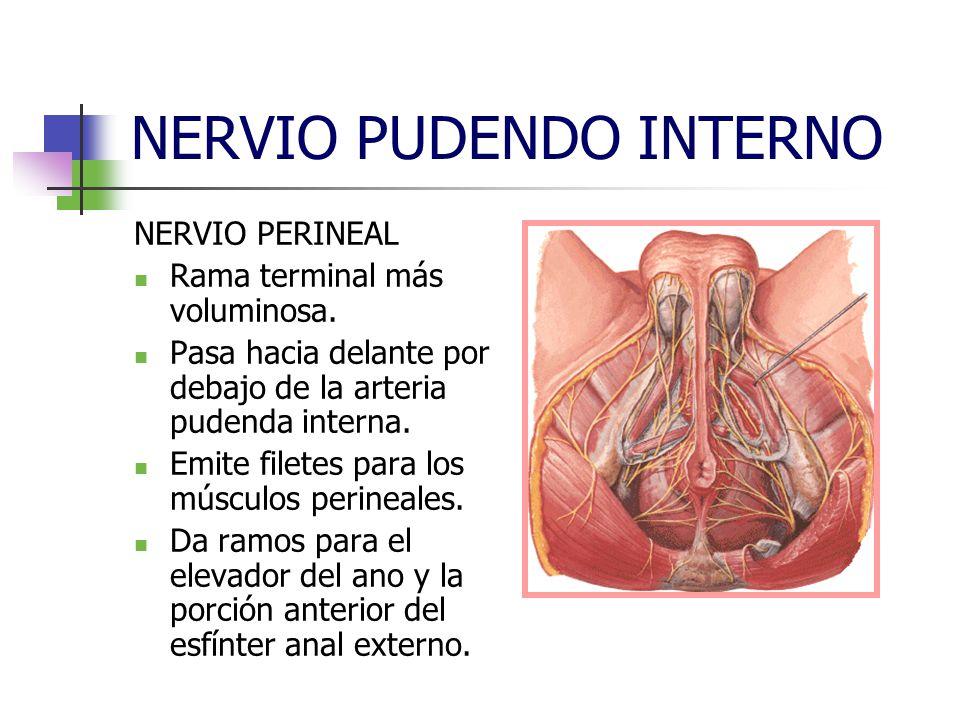 NERVIO PUDENDO INTERNO NERVIO PERINEAL Rama terminal más voluminosa. Pasa hacia delante por debajo de la arteria pudenda interna. Emite filetes para l