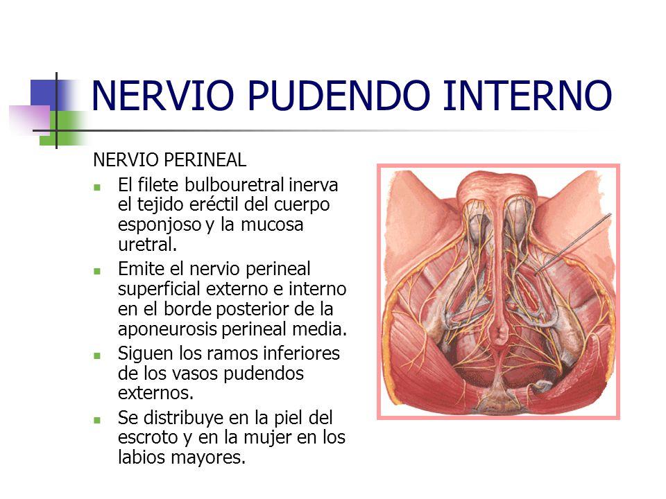 NERVIO PUDENDO INTERNO NERVIO PERINEAL El filete bulbouretral inerva el tejido eréctil del cuerpo esponjoso y la mucosa uretral. Emite el nervio perin