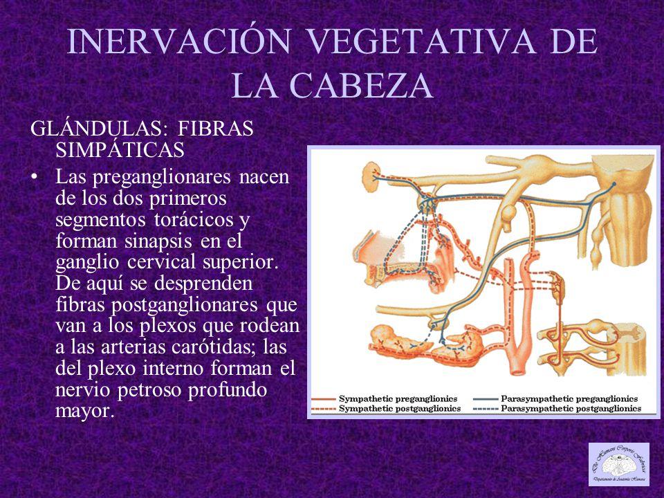 INERVACIÓN VEGETATIVA DE LA CABEZA GLÁNDULAS: FIBRAS SIMPÁTICAS Las preganglionares nacen de los dos primeros segmentos torácicos y forman sinapsis en el ganglio cervical superior.