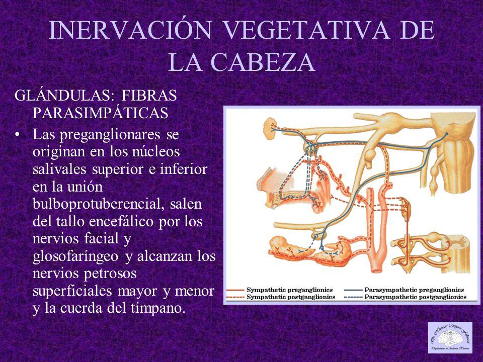 INERVACIÓN VEGETATIVA DE LA CABEZA GLÁNDULAS: FIBRAS PARASIMPÁTICAS Las preganglionares se originan en los núcleos salivales superior e inferior en la unión bulboprotuberencial, salen del tallo encefálico por los nervios facial y glosofaríngeo y alcanzan los nervios petrosos superficiales mayor y menor y la cuerda del tímpano.