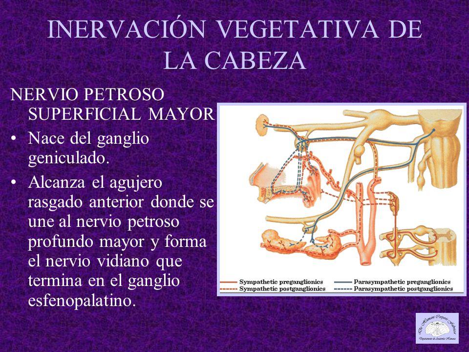 INERVACIÓN VEGETATIVA DE LA CABEZA NERVIO PETROSO SUPERFICIAL MAYOR Nace del ganglio geniculado.