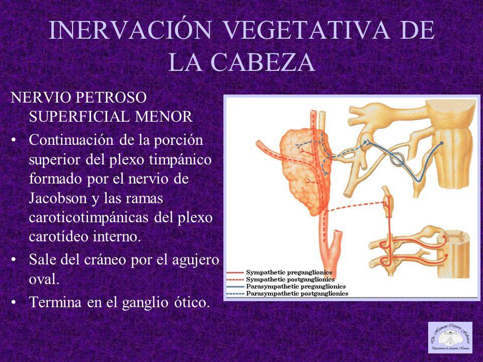 INERVACIÓN VEGETATIVA DE LA CABEZA NERVIO PETROSO SUPERFICIAL MENOR Continuación de la porción superior del plexo timpánico formado por el nervio de Jacobson y las ramas caroticotimpánicas del plexo carotídeo interno.
