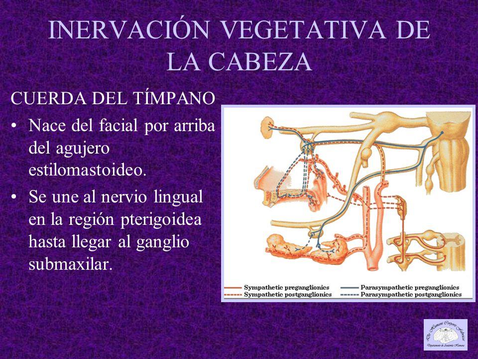 INERVACIÓN VEGETATIVA DE LA CABEZA CUERDA DEL TÍMPANO Nace del facial por arriba del agujero estilomastoideo.