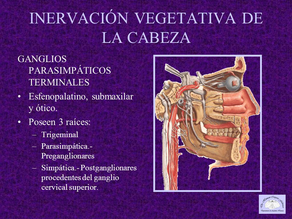 INERVACIÓN VEGETATIVA DE LA CABEZA GANGLIOS PARASIMPÁTICOS TERMINALES Esfenopalatino, submaxilar y ótico.