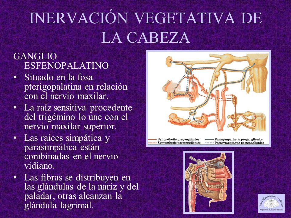 INERVACIÓN VEGETATIVA DE LA CABEZA GANGLIO ESFENOPALATINO Situado en la fosa pterigopalatina en relación con el nervio maxilar.