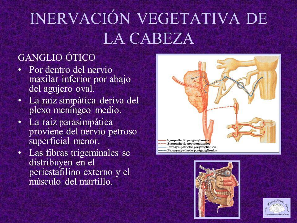 INERVACIÓN VEGETATIVA DE LA CABEZA GANGLIO ÓTICO Por dentro del nervio maxilar inferior por abajo del agujero oval.