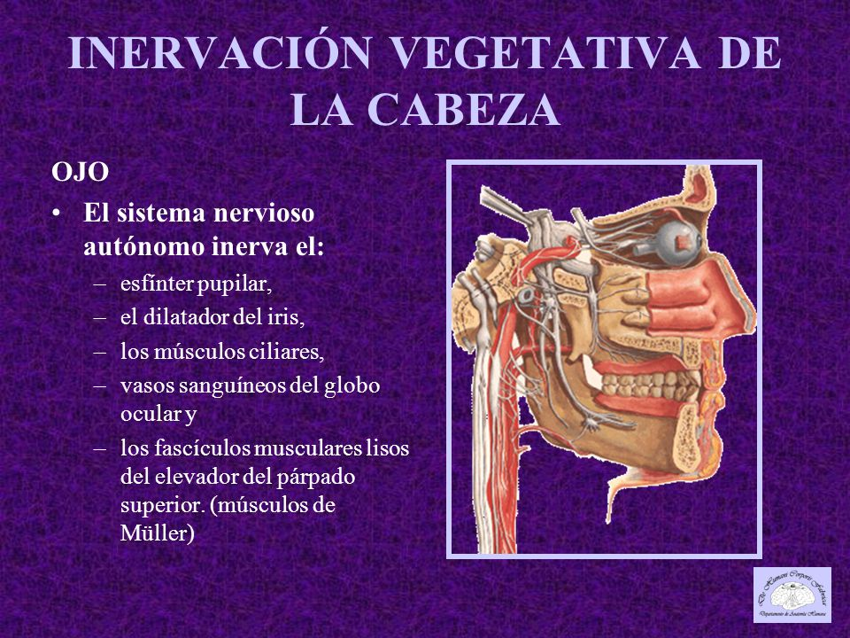 OJO El sistema nervioso autónomo inerva el: –esfínter pupilar, –el dilatador del iris, –los músculos ciliares, –vasos sanguíneos del globo ocular y –los fascículos musculares lisos del elevador del párpado superior.