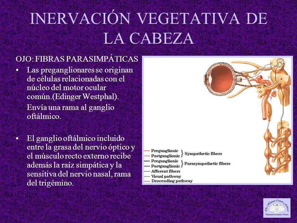 INERVACIÓN VEGETATIVA DE LA CABEZA OJO: FIBRAS PARASIMPÁTICAS Las preganglionares se originan de células relacionadas con el núcleo del motor ocular común.(Edinger Westphal).
