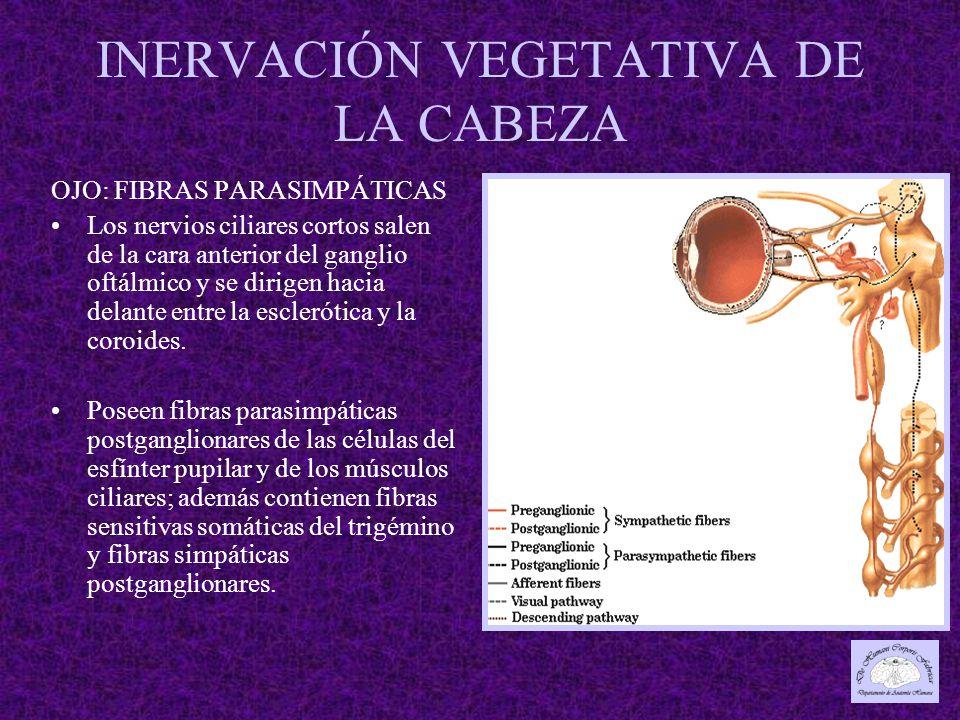 INERVACIÓN VEGETATIVA DE LA CABEZA OJO: FIBRAS PARASIMPÁTICAS Los nervios ciliares cortos salen de la cara anterior del ganglio oftálmico y se dirigen hacia delante entre la esclerótica y la coroides.