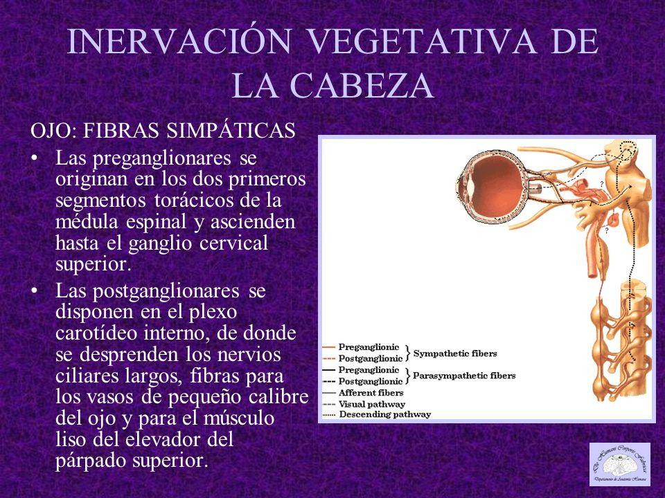 INERVACIÓN VEGETATIVA DE LA CABEZA OJO: FIBRAS SIMPÁTICAS Las preganglionares se originan en los dos primeros segmentos torácicos de la médula espinal y ascienden hasta el ganglio cervical superior.