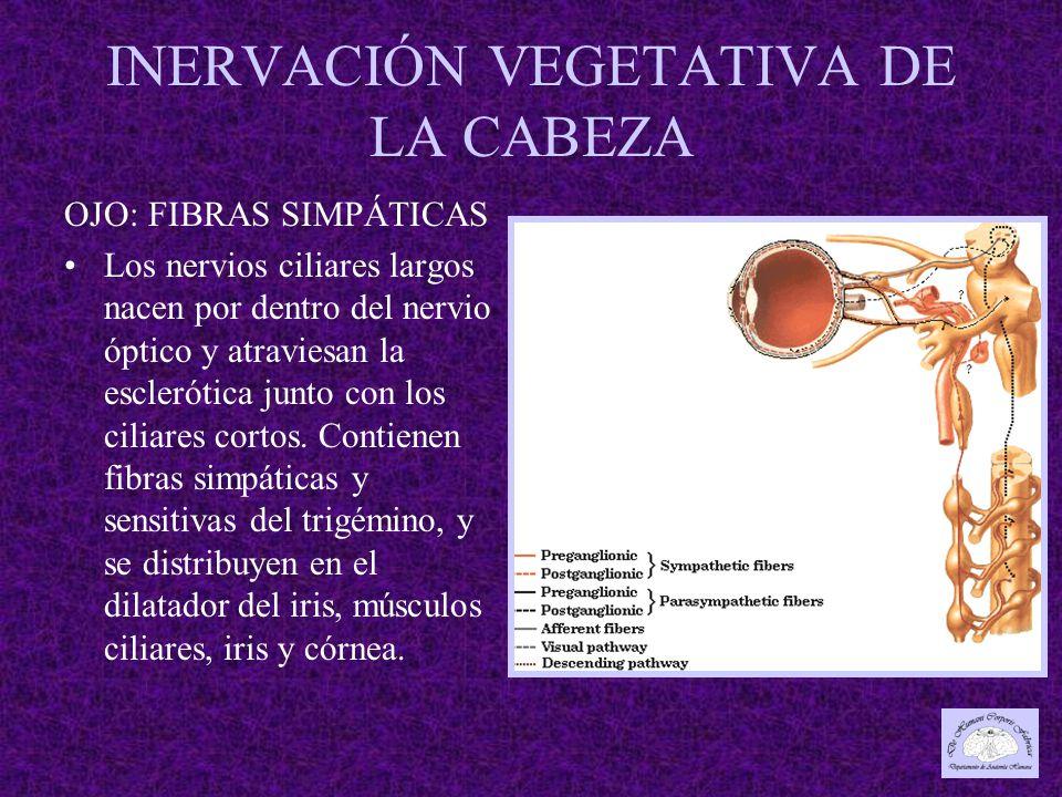 INERVACIÓN VEGETATIVA DE LA CABEZA OJO: FIBRAS SIMPÁTICAS Los nervios ciliares largos nacen por dentro del nervio óptico y atraviesan la esclerótica junto con los ciliares cortos.