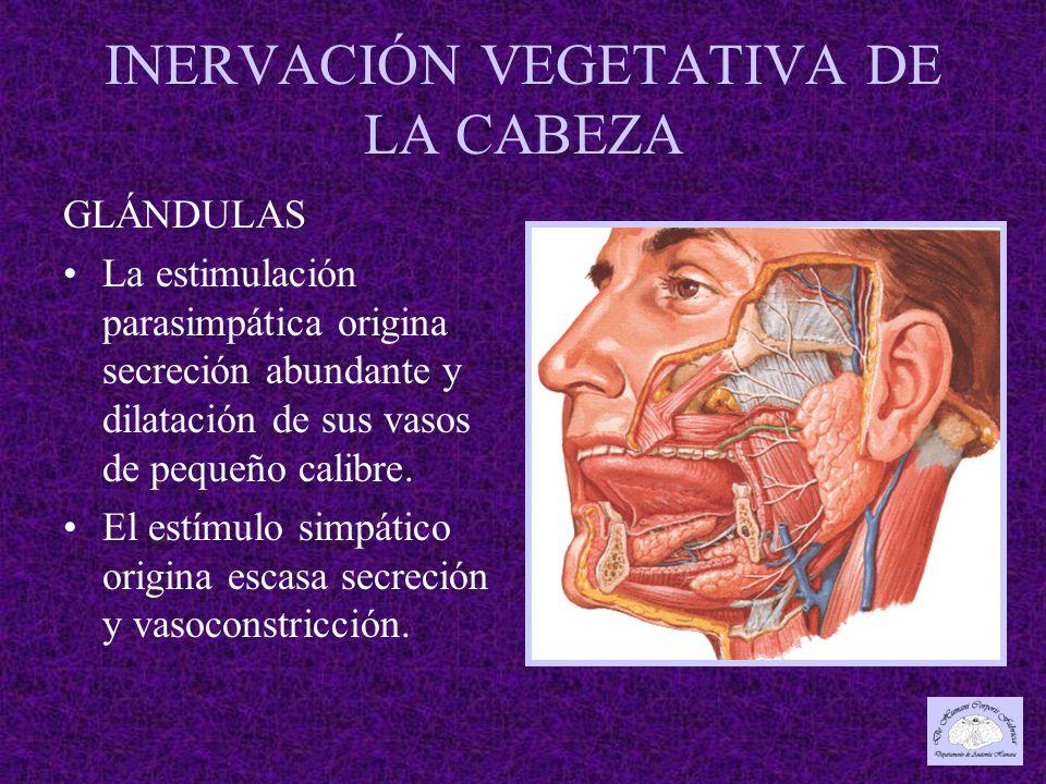 INERVACIÓN VEGETATIVA DE LA CABEZA GLÁNDULAS La estimulación parasimpática origina secreción abundante y dilatación de sus vasos de pequeño calibre.