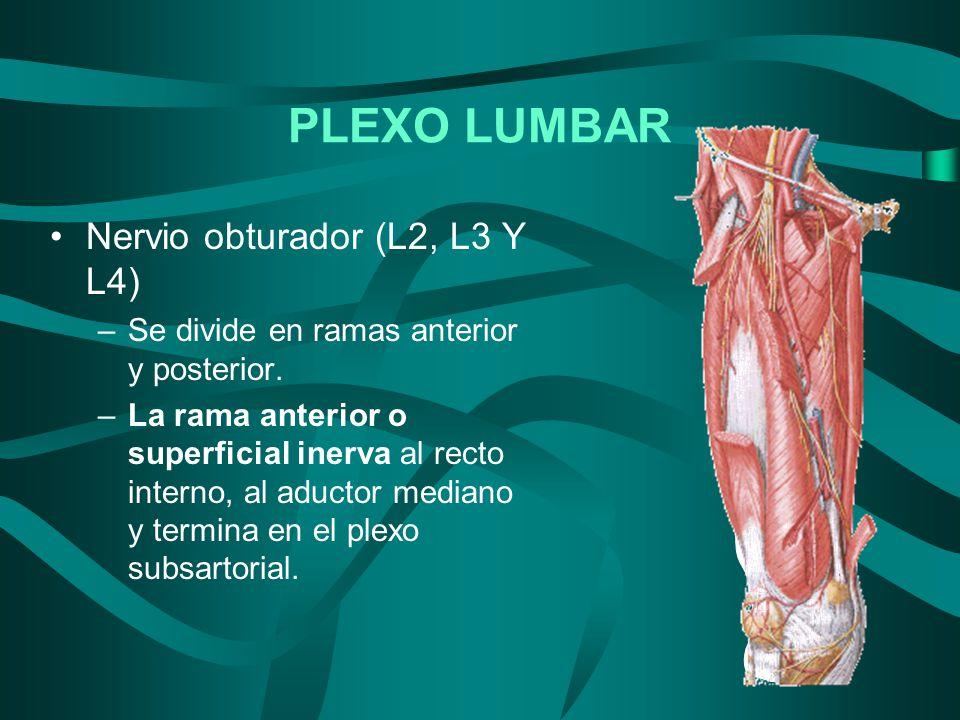 Nervio obturador (L2, L3 Y L4) –Se divide en ramas anterior y posterior. –La rama anterior o superficial inerva al recto interno, al aductor mediano y