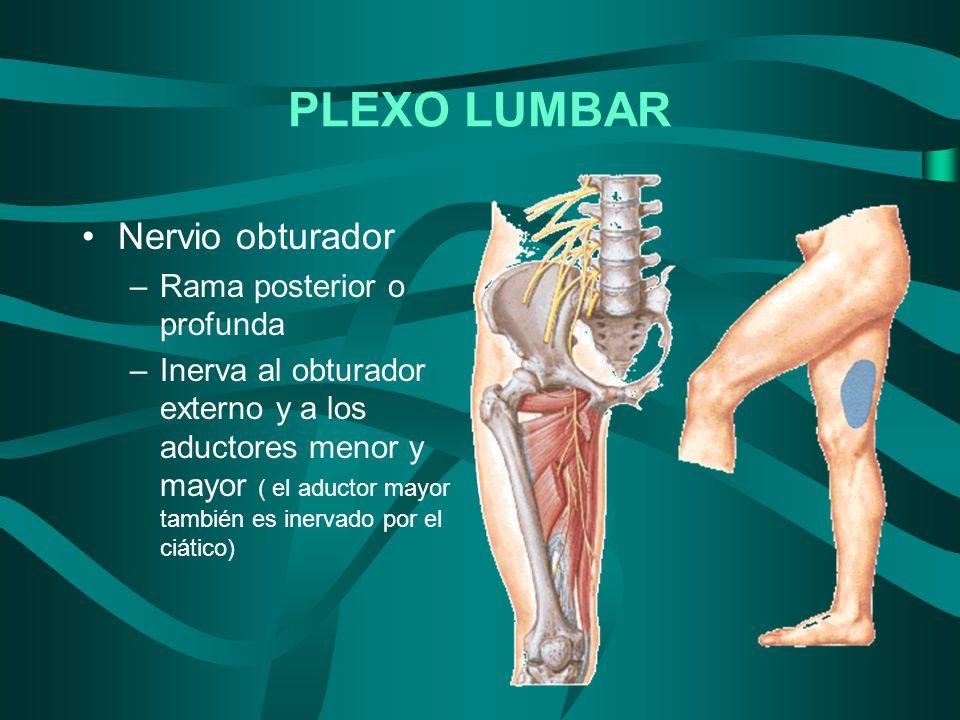 Nervio obturador –Rama posterior o profunda –Inerva al obturador externo y a los aductores menor y mayor ( el aductor mayor también es inervado por el