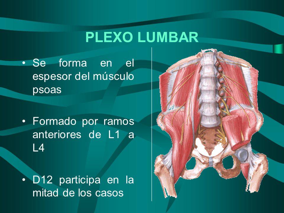 PLEXO LUMBAR Se forma en el espesor del músculo psoas Formado por ramos anteriores de L1 a L4 D12 participa en la mitad de los casos