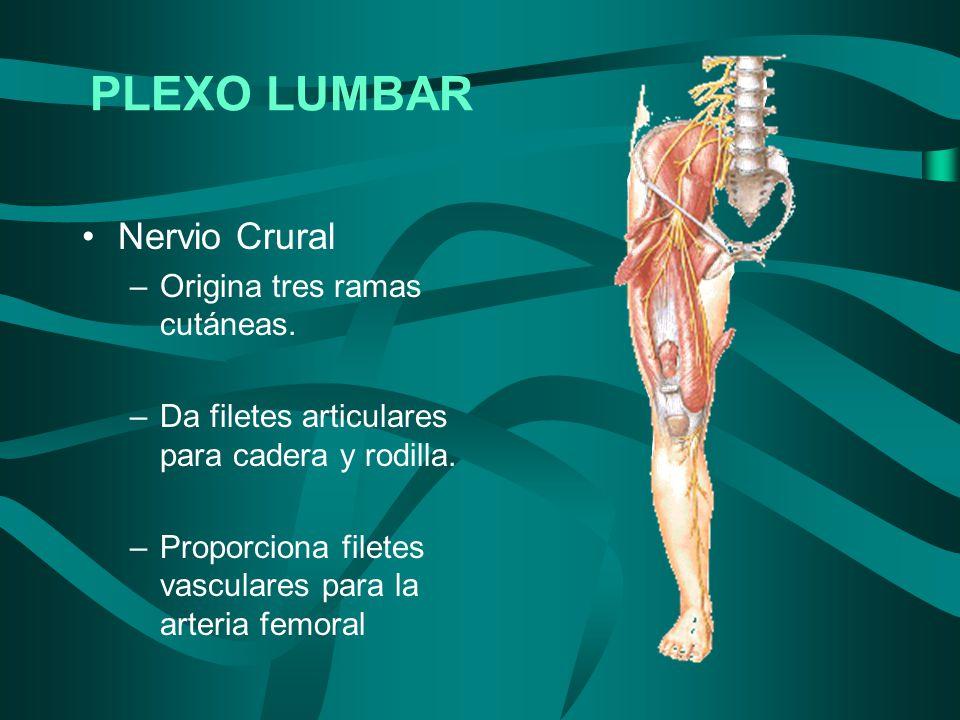 Nervio Crural –Origina tres ramas cutáneas. –Da filetes articulares para cadera y rodilla. –Proporciona filetes vasculares para la arteria femoral PLE