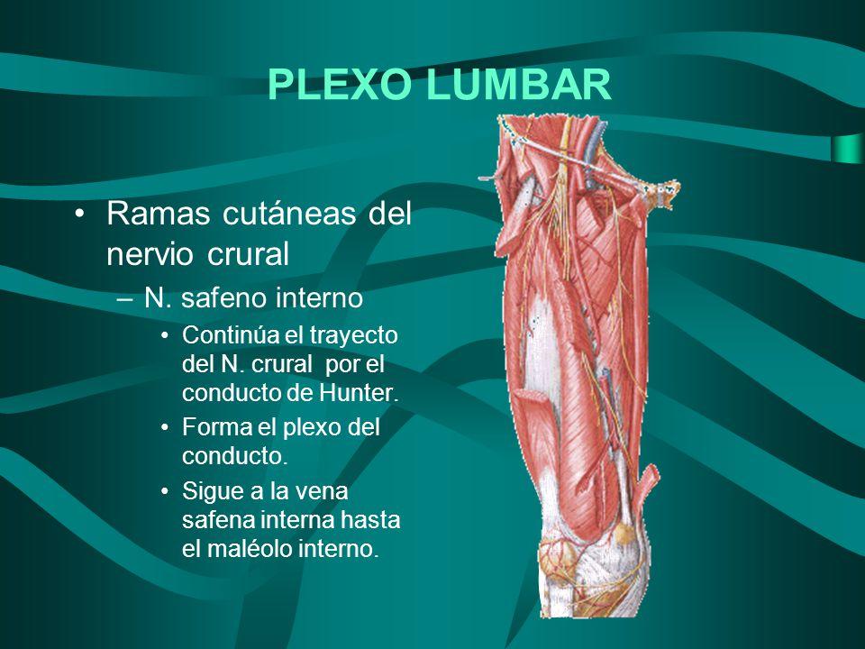 Ramas cutáneas del nervio crural –N. safeno interno Continúa el trayecto del N. crural por el conducto de Hunter. Forma el plexo del conducto. Sigue a