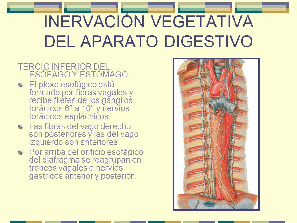 INERVACIÓN VEGETATIVA DEL APARATO DIGESTIVO TERCIO INFERIOR DEL ESÓFAGO Y ESTÓMAGO El plexo esofágico está formado por fibras vagales y recibe filetes
