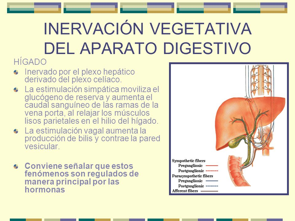 INERVACIÓN VEGETATIVA DEL APARATO DIGESTIVO HÍGADO Inervado por el plexo hepático derivado del plexo celíaco. La estimulación simpática moviliza el gl