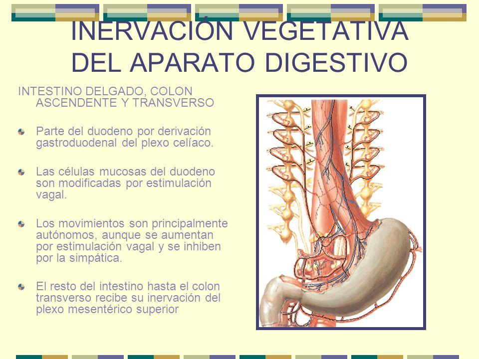 INERVACIÓN VEGETATIVA DEL APARATO DIGESTIVO INTESTINO DELGADO, COLON ASCENDENTE Y TRANSVERSO Parte del duodeno por derivación gastroduodenal del plexo