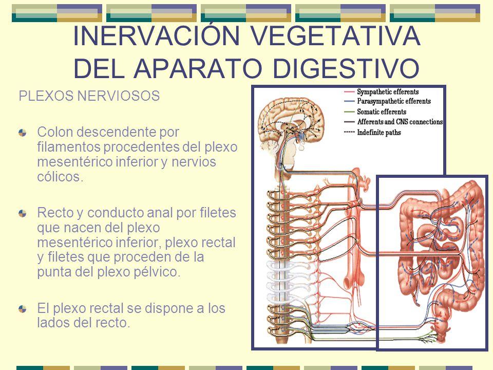 INERVACIÓN VEGETATIVA DEL APARATO DIGESTIVO PLEXOS NERVIOSOS Colon descendente por filamentos procedentes del plexo mesentérico inferior y nervios cól