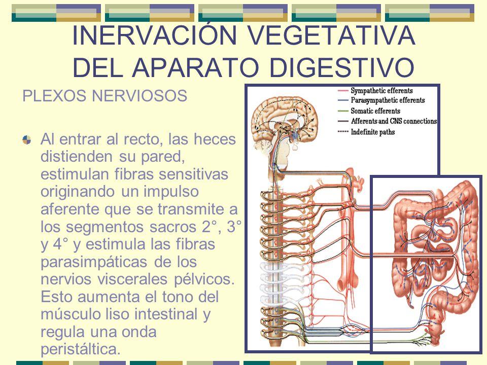 INERVACIÓN VEGETATIVA DEL APARATO DIGESTIVO PLEXOS NERVIOSOS Al entrar al recto, las heces distienden su pared, estimulan fibras sensitivas originando