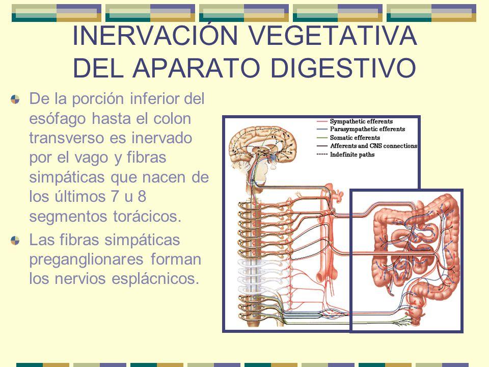 INERVACIÓN VEGETATIVA DEL APARATO DIGESTIVO HÍGADO Inervado por el plexo hepático derivado del plexo celíaco.