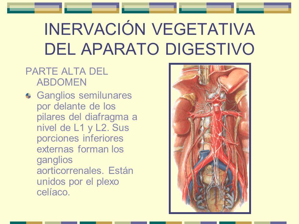 INERVACIÓN VEGETATIVA DEL APARATO DIGESTIVO PARTE ALTA DEL ABDOMEN Ganglios semilunares por delante de los pilares del diafragma a nivel de L1 y L2. S